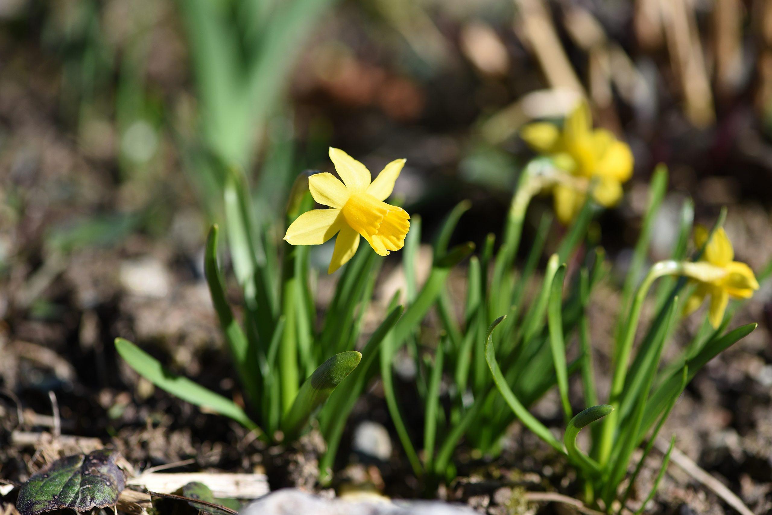 yellow-daffodil-bushes-scaled